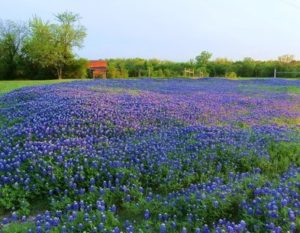 April, Bluebonnets, and the View from the Top of the Tree
